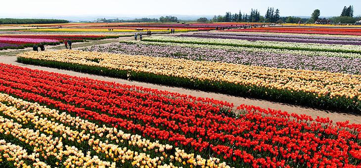 Wissenschaftler sagen Tulpen-Müllbergen den Kampf an
